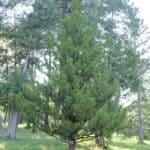 Japanese Umbrella Pine