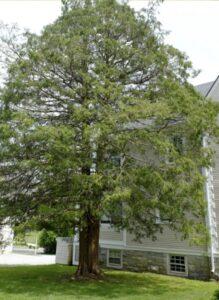 Atlantic White Cedar