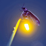 Firefly Hike Postponed to Saturday, July 10th!